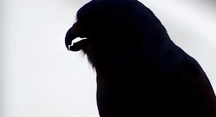 Diente de halcón cernícalo primilla